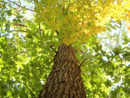 An American Chestnut tree that is in Norfolk County.
